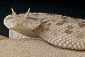 stock photo of venom  - The desert horned viper is a sidewinding venomous snake species found in across the Sahara desert - JPG