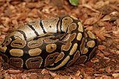 picture of pythons  - Ball Python  - JPG