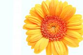 stock photo of oblong  - orange gerbera isolated on white background close - JPG