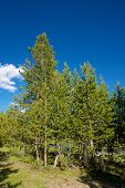 foto of united we stand  - Stand of pine trees in the wilderness of Yellowstone National Park in the western United States - JPG