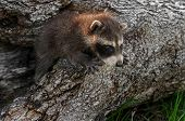 picture of raccoon  - Baby Raccoon  - JPG