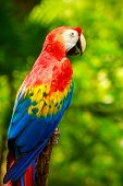 stock photo of parrots  - Portrait of colorful Scarlet Macaw parrot in Mexico - JPG