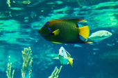 picture of angelfish  - Closeup of a colorful Queen Angelfish in Caribbean sea - JPG