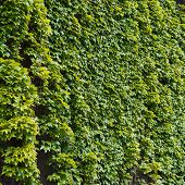 image of tendril  - Green wall of parthenocissus tendril climbing decorative plant - JPG