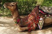 stock photo of hump day  - Camel in a park - JPG