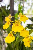 foto of yellow orchid  - Yellow flower orchid of Oncidium Orchid Flowers - JPG