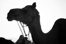picture of camel-cart  - Camels at Pushkar Camel Fair - JPG