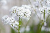 picture of common  - Macro of a white common valerian  - JPG