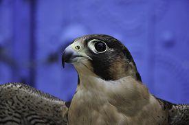 image of hawk  - The hawk