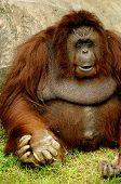 foto of hughes  - Big Fat Monkey sitting. Zoo in Bangkok Thailand. - JPG