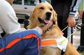 foto of seeing eye dog  - Close up view of trained seeing eye dog - JPG