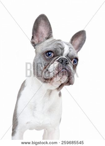 cute french bulldog puppy with
