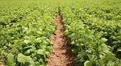 image of sweetpea  - string bean fields - JPG