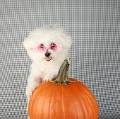 Fifi the Purebred Bichon Frise smiles as she poses with her pumpkin for halloween and fall againts a poster
