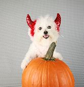 foto of bichon frise dog  - Fifi the Purebred Bichon Frise smiles as she modesl in her DEVIL DOG costume with her pumpkin against a black and white background - JPG