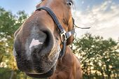 Curious Horse, Sticking Its Nose In The Camera For A Funny Portrait, Brown Horse With Crazy Eyes, An poster