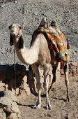 pic of camel-cart  - Arabian camel or Dromedary  - JPG