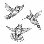 Hand Drawn Humming Birds Isolated On White. Monochrome Flying Hummingbirds Set.  Front And Side View poster