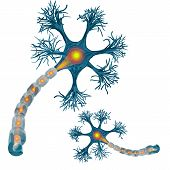 Neuron That Is The Main Part Of The Nervous System. poster