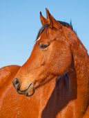 image of brown horse  - Profile of a beautiful red bay Arabian horse against clear blue sky - JPG