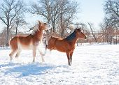 pic of pushy  - Small horse kicking out at a big horse in snow on a cold winter day - JPG