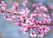 stock photo of judas tree  - Closeup image of Eastern Redbud flowers in bloom in early spring - JPG