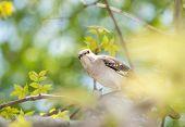 stock photo of mockingbird  - Northern Mockingbird peeking through leaves - JPG