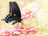 Dreamy image of a Pipevine Swallowtail butterfly on pink Zinnia