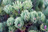 Spruce Needles Close Up Natural Texture. Christmas Mood For Aroma. Fir Tree Needles On Branches. Bra poster