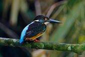 Blue-banded Kingfisher Alcedo Euryzona Beautiful Male Birds Of Thailand poster