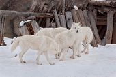 Four Wild Alaskan Tundra Wolves Are Playing On White Snow. Canis Lupus Arctos. Polar Wolf Or White W poster