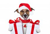 foto of christmas dog  - santa christmas dog with two big gifts - JPG