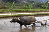 stock photo of female buffalo  - Buffalo in the rice field Indonesia Bali - JPG