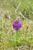 Irish Purple Wild Orchid