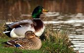 stock photo of male mallard  - Two mallard ducks in love at the lack - JPG