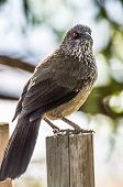 stock photo of babbler  - bird perched on a wooden pole in the national park - JPG