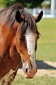picture of clydesdale  - Head of Clydesdale horse in a farm during sunny day - JPG
