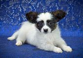 foto of epagneul  - Puppy of breed papillon on a blue background - JPG