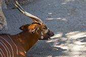 image of bongo  - Eastern Bongo it is hidden in the shade trees  - JPG