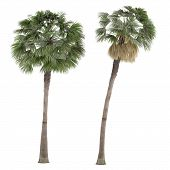 picture of washingtonia  - Palm plant tree isolated - JPG