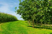 image of walnut-tree  - Plantation of Corn and Walnut Trees in France - JPG