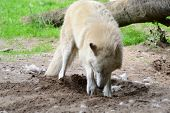 picture of white wolf  - white wolf dripping hole in the ground to sleep - JPG