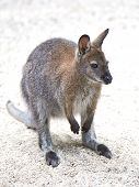 pic of wallabies  - Red - JPG