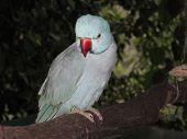 foto of ringneck  - At Bird World - JPG