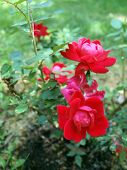 picture of knockout  - photo of Knockout Rose bush showcasing it