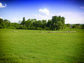 image of lax  - flock of sheep on green grass - JPG