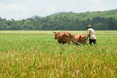 stock photo of oxen  - A farmer is ploughing on field by couple of ox  on An Giang province - JPG