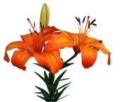 picture of asiatic lily  - Orange Asiatic Lily isolated with clipping path - JPG
