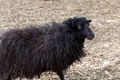 image of suffolk sheep  - young black sheep on summer nature day - JPG