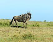 stock photo of wildebeest  - Wildebeest in Masai Mara National Park - JPG